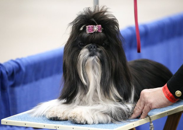 national dog show 2020 - photo #3