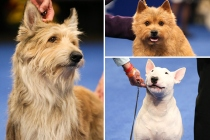 National Dog Show 2020 Introduces 3 New Breeds -- Who Won Best in Show?