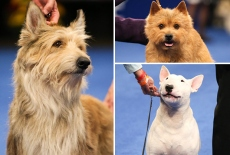National Dog Show 2020 Introduces 3 New Breeds — Who Won Best in Show?